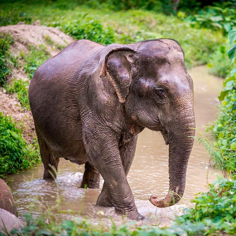 Слон Путешествие в Таиланд