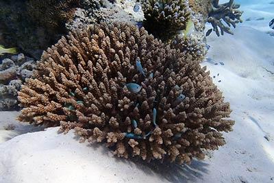 кораллы-на-мальдивах