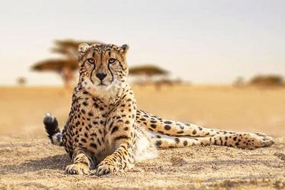 гепард-кения
