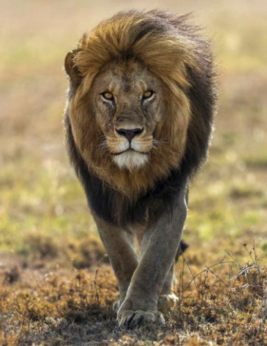 лев кения