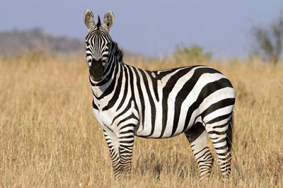 зебра-кения